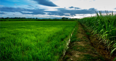 Sugarcane and Rice Field