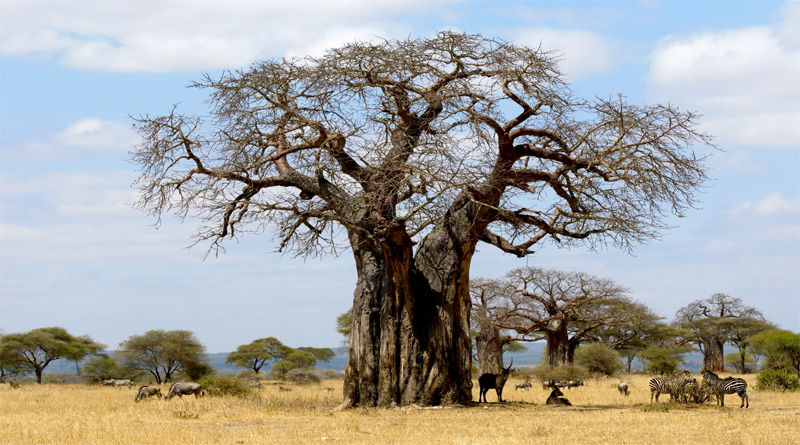 1200 Year Old Baobab Trees Struggle To Survive Climate Change