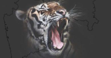 Tiger maharastra