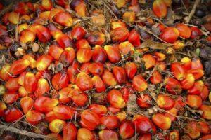 Palm Oil Kernels