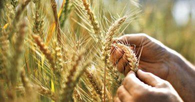 Farmer checking Wheat shoots