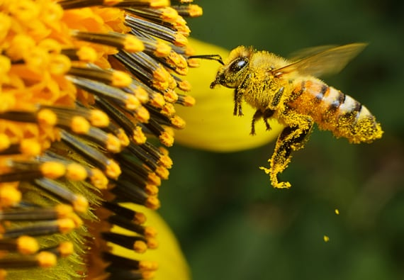 Bee's pollinate more than 170,000 species of plants