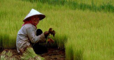 Chineese Rice farmer