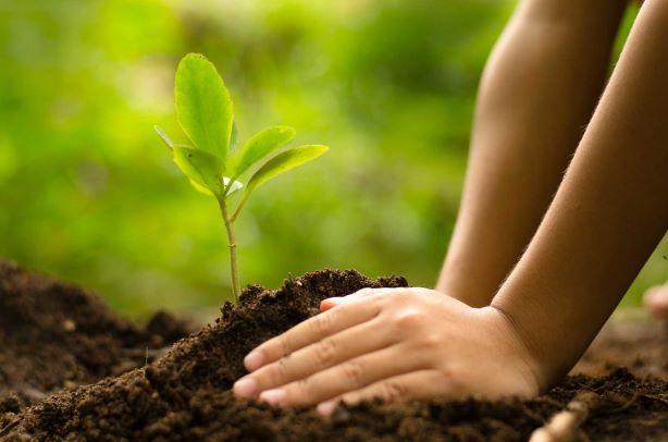 Plantation of sapling
