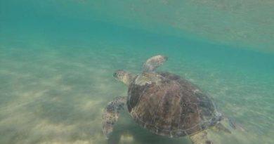 Green Turtles in Sea