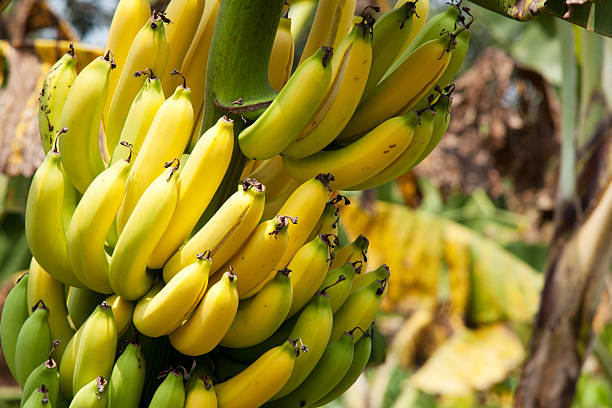 Banana Productivity to Fall in India, Brazil Due to Climate Change