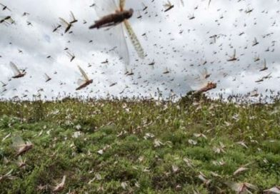 locust attack in india