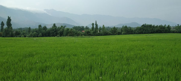 A-Green-Paddy-Field-in-south-of-kashmir