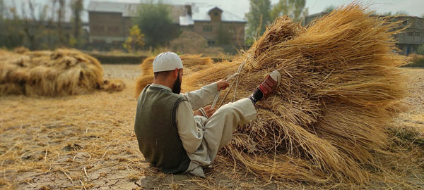 A-local-farmer-in-South-Kashmir-tying-the-straw-left-after-threshing-of-the-Paddy