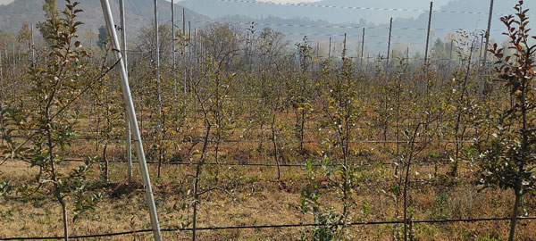 A-view-of-high-density-orchard-with-high-yielding-hybrid