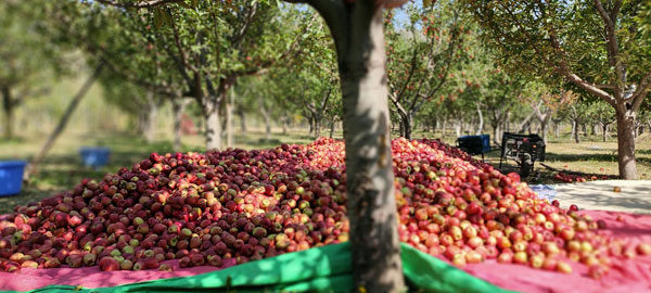 Apple-Harvest-after-they-are-picked