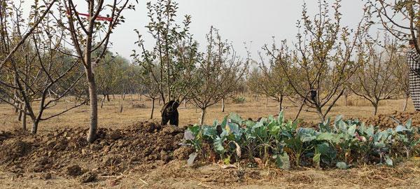 Apple-Orchard-of-Fayaz-Ahmad