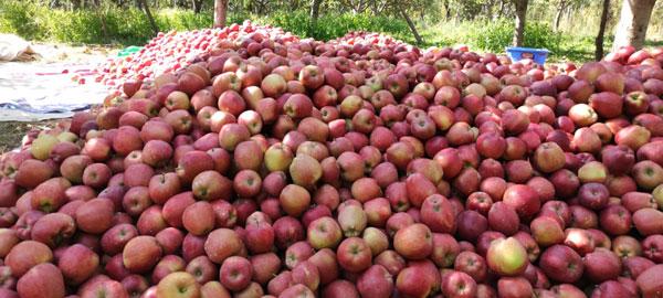 Apple-harvest-being-piled-up-before-they-are-sorted