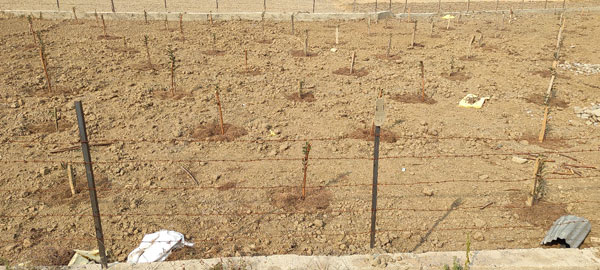 Apple-saplings-rootstocks-have-been-planted-in-a-paddy