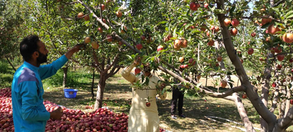 Fayaz-Mir-with-a-labourer-picking-the-Apple-fruit-from-the-orchard-in-the-month-of-October-2020