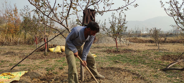Mr-Iqbal-doing-seasonal-orchard-maintenance-to-ensure-healthy-fruiting-next-season