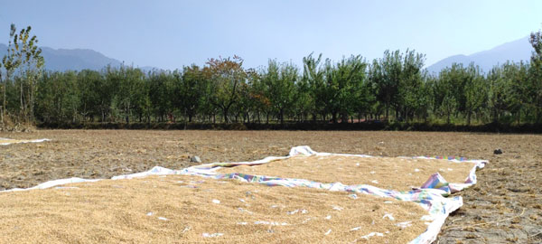 Paddy-harvest-being-dried-up-in-a-Paddy-field-which-is-adjacent-to-the-Fayaz-Mir's-Apple-Orchard.-Mir's-orchard-is-visible-on-the-other-side