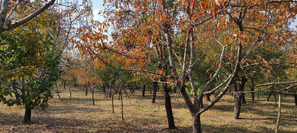 Traditional-orchard-of-Altaf-Hussain,-which-has-mixed-trees-such-as-Pears,-Peaches,-Plums-&-Walnuts